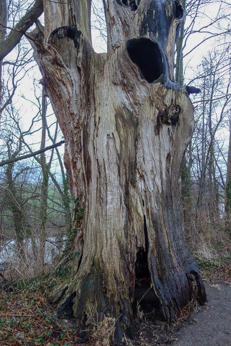 Bizarr geformter, abgestorbener Baum auf dem Bantelner Weg